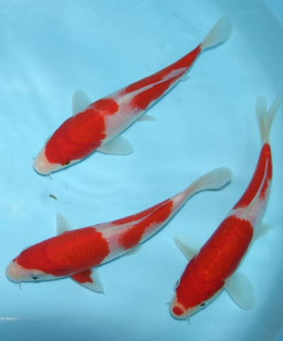 Koi gallery photo gallery for Top japanese koi breeders